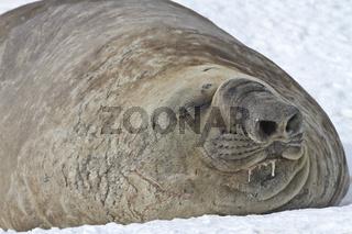 male sea elephant