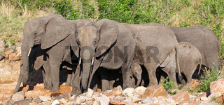 Elefanten im Flussbett, Kruger Nationalpark, Südafrika; african elephants in a river bed, south africa