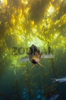 Kelp Bass Saegebarsch, Cedros Island