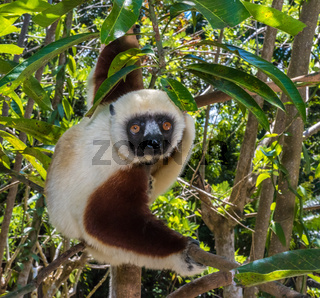 Sifaka, dancing lemur of Madagascar