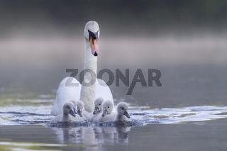Höckerschwan mit Jungtier / Cygnus olor