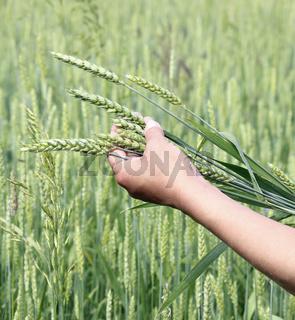 Wheat ears woman hand