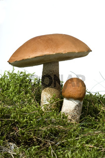 Birkenrotkappe; Leccinum testaceoscabrum