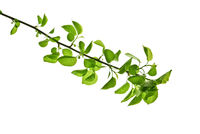 Spring-branch-with-green-leaves-in-backlit-isolated-on-white-background
