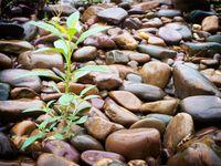 Plant on stones