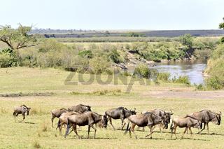 Gnu-Wanderung in Masai Mara, Kenia