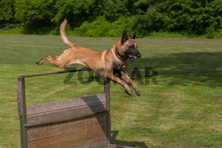 Schaeferhund springt ab