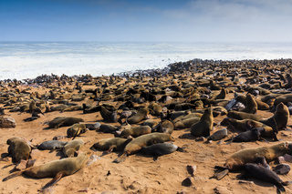 Cape fur seal gathering. They lie and rest on beach of Cape cross. Rough atlantic ocean Namibia Africa.