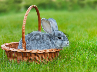 Cute little grey rabbit in the basket on green grass