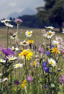 Wildblumenwiese, Blumenwiese