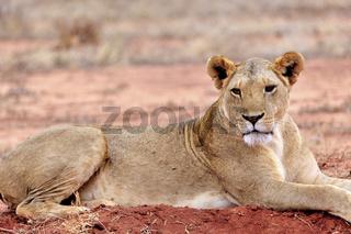 Löwe post entspannt auf roter Erde von Tsavo