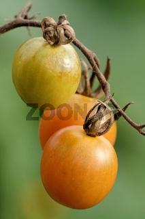 Tomaten mit Braunfaeule