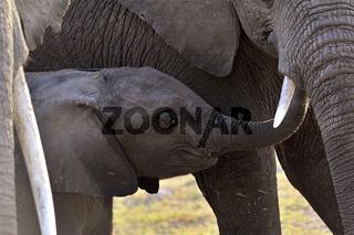 Elefantenbaby spielt mit seiner Mutter