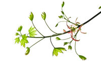 Pliant-twig-of-maple-with-buds-and-small-young-leaves-isolated-on-white