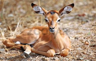 Junges Impala im Kruger Nationalpark, Südafrika, Schwarzfersenantilope, young Impala in South Africa, Aepyceros melampus