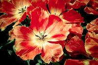 beautiful tulips. spring flowers