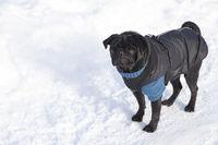 Schwarzer Mops im Schnee