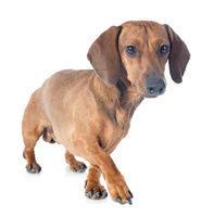 dachshund dog