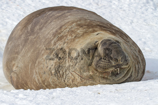 southern elephant seal which lies in the snow with eyes closed
