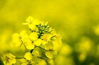 Nahaufnahme Rapspflanze mit selektivem Fokus