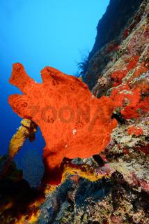 Antennarius commersonii, commersoni, Riesen Anglerfisch, Malediven, Maldives
