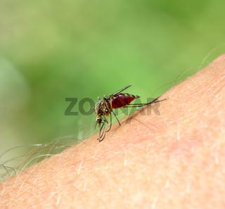 mosquito drinks blood - macro shot