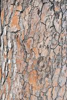 Closeup-of-bark-of-a-Mediterranean-pine-tree-trunk