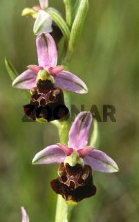 Hummel-Ragwurz Ophrys holoserica