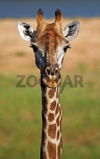 Giraffenporträt im Kruger Nationalpark, Südafrika, giraffe, Kruger national park, South Africa