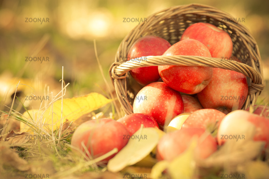 Basket full of red juicy apples