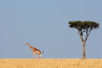 Masai giraffe and tree