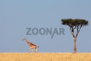 Masai giraffe and tree