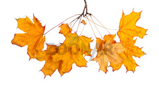 Autumn maple branch with leaves isolated on a white background