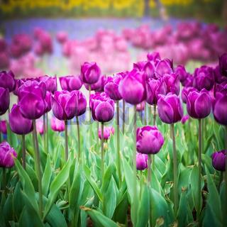 purple tulips closeup in the park