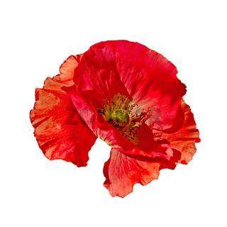 Poppy red side view
