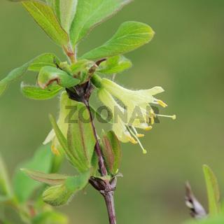 Maibeere Bluete - Lonicera kamtschatica blossom 08