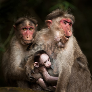 Love care maternity concept. Family portrait of macaque monkeys in wild. Small baby breast feeding and two adult rhesus monkey. Animal in wild, South India