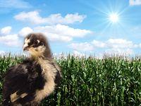 junger Vogel im Maisfeld