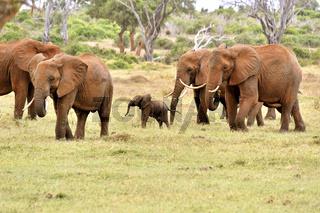 kleines verspieltes Elefantenbaby mit Familie