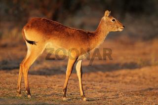 Red lechwe antelope