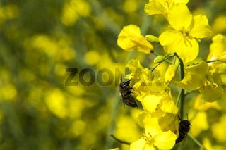 Honigbiene auf einer Rapsblüte