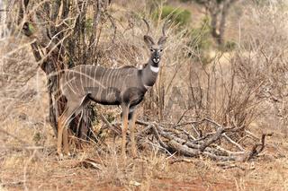 Kleiner Kudu, Antilope, Afrika, Kkenia