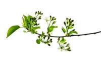 Spring-twig-of-wild-plum-tree-with-young-leaves-buds-and-flowers-isolated-on-white-background