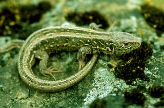 Zauneidechse Portrait eines Weibchens