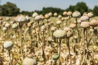 Opium poppies