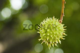 stachelige Kastanienfrucht