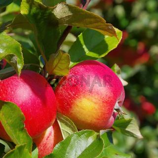 Apfel am Baum - apple on tree 150