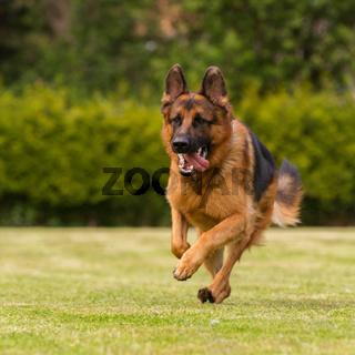 Schaeferhund läuft Wiese