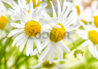 Bouquet of wild daisies, close-up