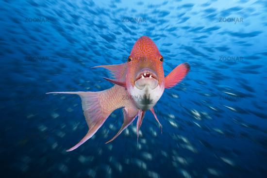 Mexikanischer Schweinslippfisch, Mexiko